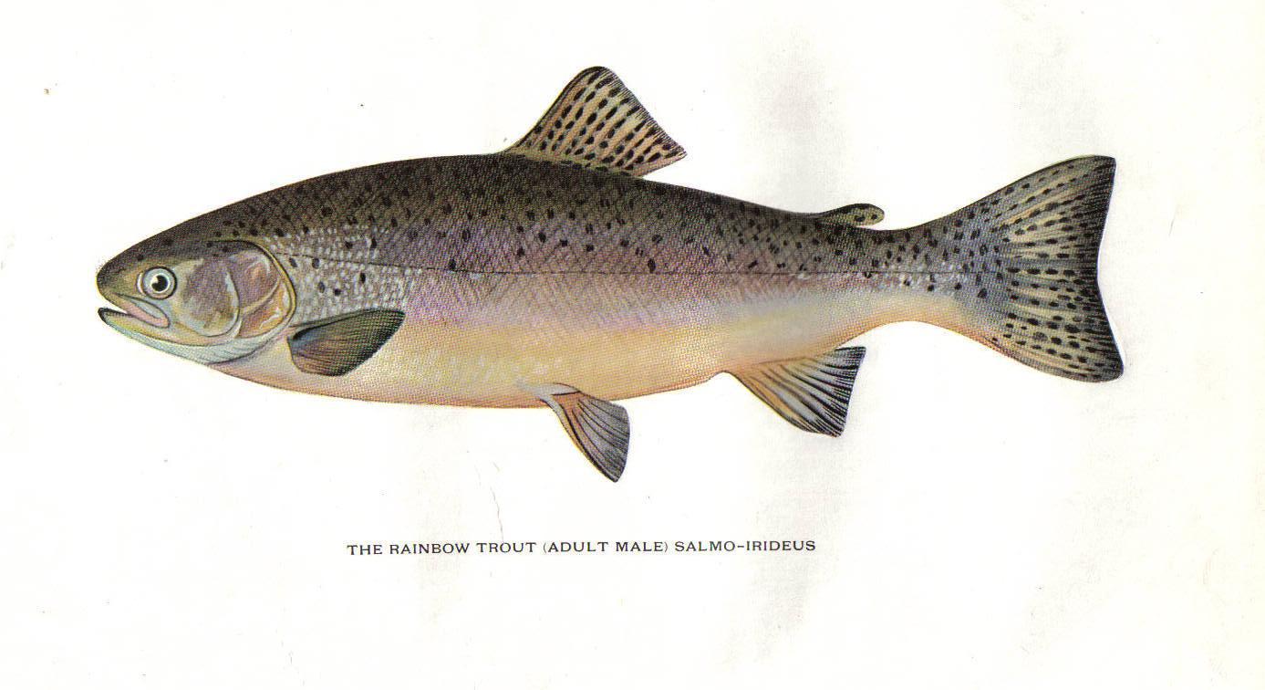 Trout fly fishing in america 1914 for Trout fishing in america